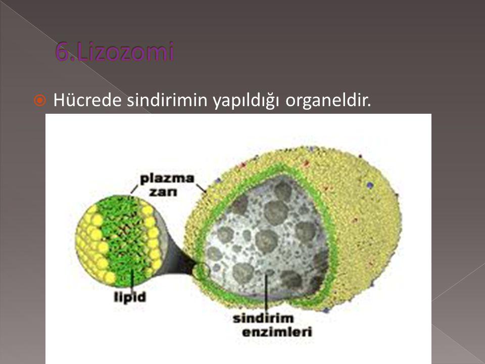 6.Lizozomi Hücrede sindirimin yapıldığı organeldir.