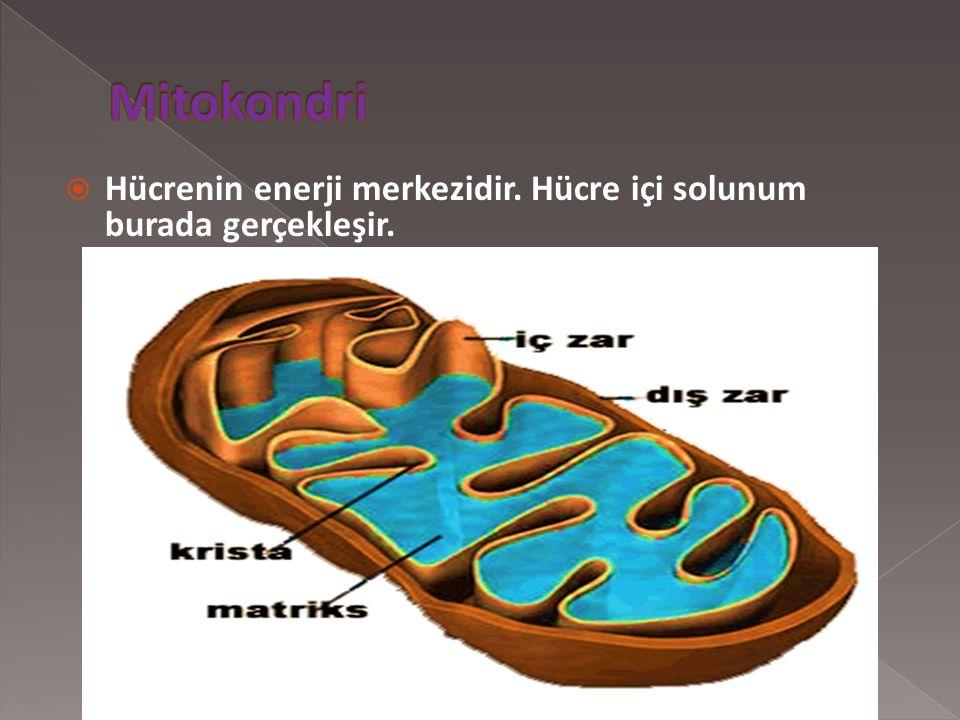 Mitokondri Hücrenin enerji merkezidir. Hücre içi solunum burada gerçekleşir.