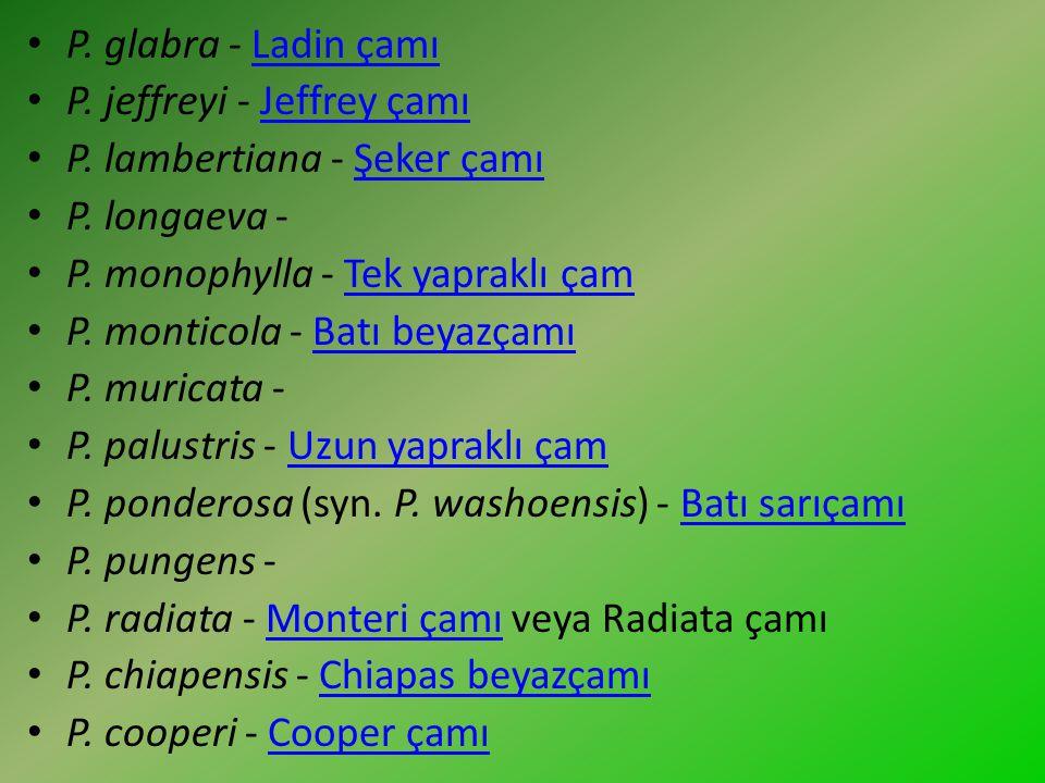 P. glabra - Ladin çamı P. jeffreyi - Jeffrey çamı. P. lambertiana - Şeker çamı. P. longaeva - P. monophylla - Tek yapraklı çam.