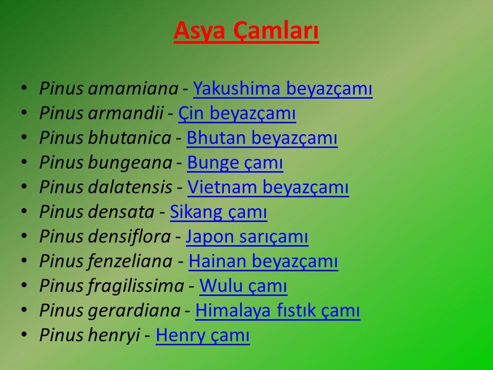 Asya Çamları Pinus amamiana - Yakushima beyazçamı