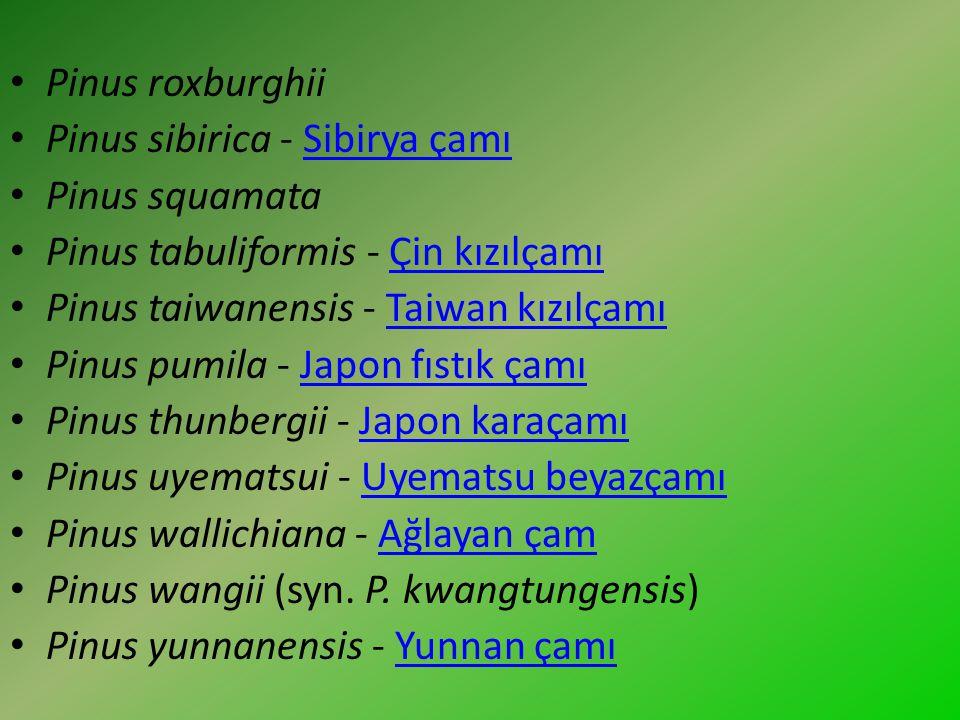 Pinus roxburghii Pinus sibirica - Sibirya çamı. Pinus squamata. Pinus tabuliformis - Çin kızılçamı.