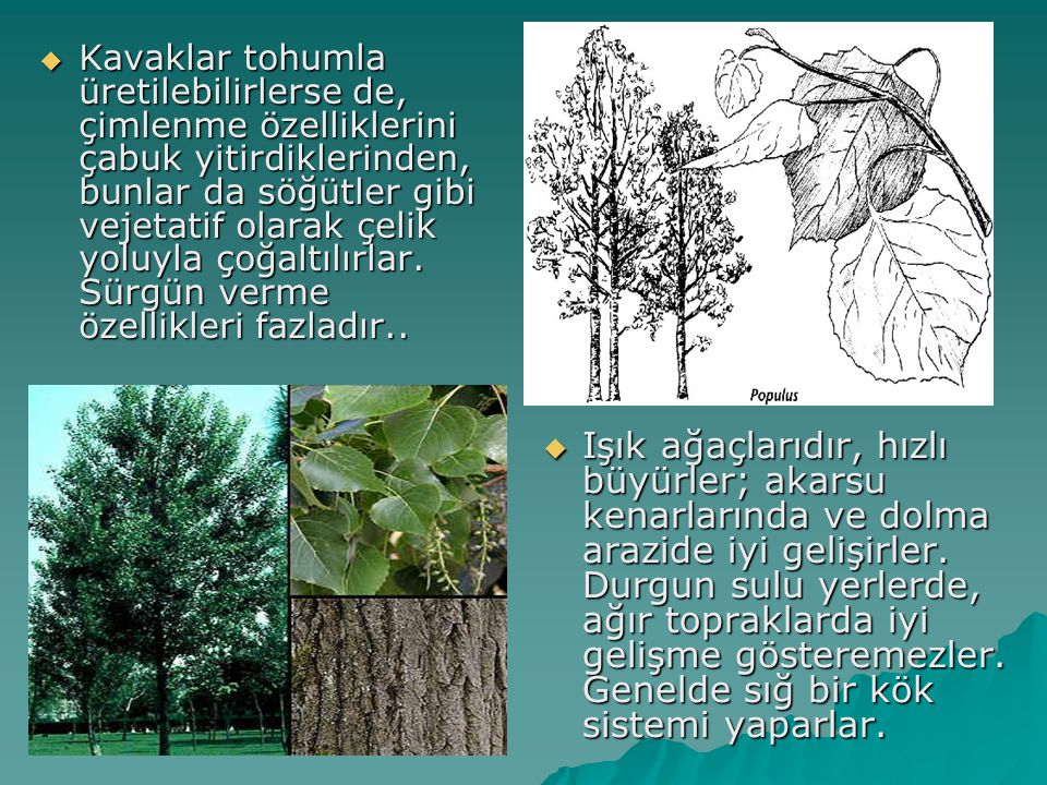 Kavaklar tohumla üretilebilirlerse de, çimlenme özelliklerini çabuk yitirdiklerinden, bunlar da söğütler gibi vejetatif olarak çelik yoluyla çoğaltılırlar. Sürgün verme özellikleri fazladır..