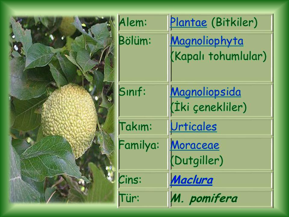 Alem: Plantae (Bitkiler) Bölüm: Magnoliophyta (Kapalı tohumlular) Sınıf: Magnoliopsida (İki çenekliler)