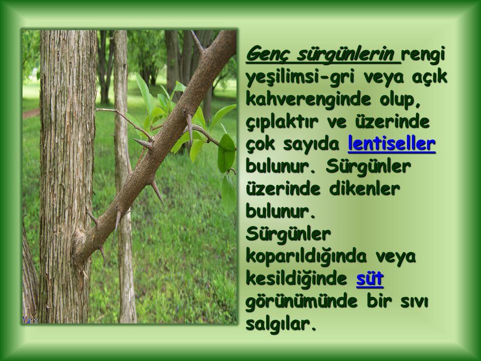 Genç sürgünlerin rengi yeşilimsi-gri veya açık kahverenginde olup, çıplaktır ve üzerinde çok sayıda lentiseller bulunur. Sürgünler üzerinde dikenler bulunur.