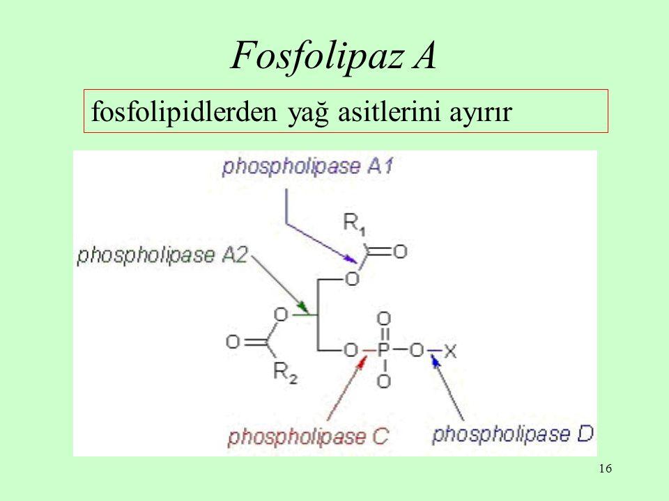 Fosfolipaz A fosfolipidlerden yağ asitlerini ayırır