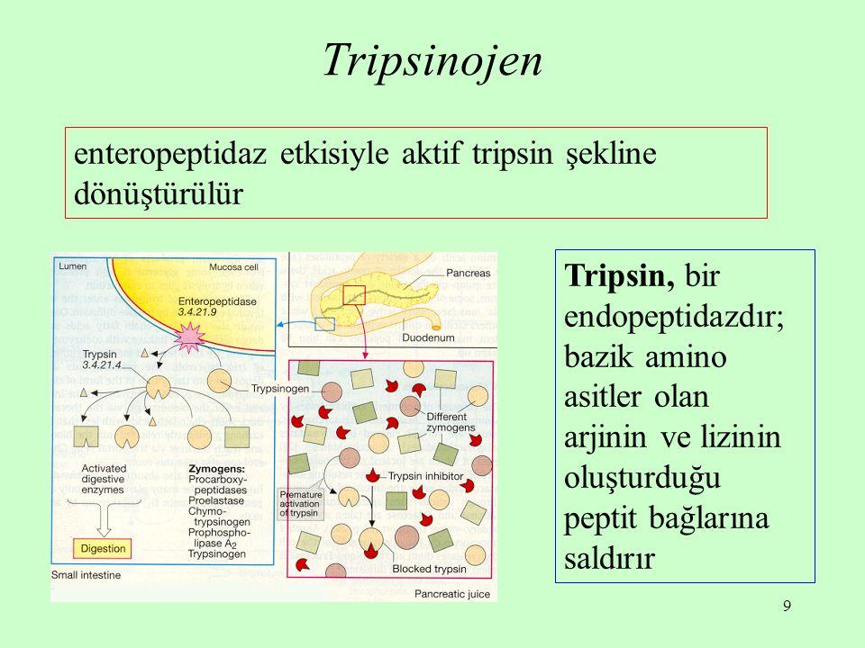 Tripsinojen enteropeptidaz etkisiyle aktif tripsin şekline dönüştürülür.