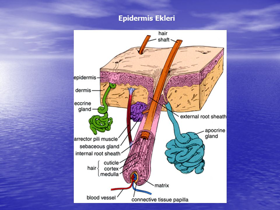 Epidermis Ekleri