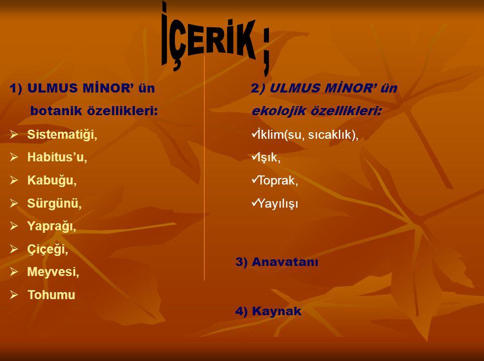 İÇERİK ; ULMUS MİNOR' ün botanik özellikleri: Sistematiği, Habitus'u,
