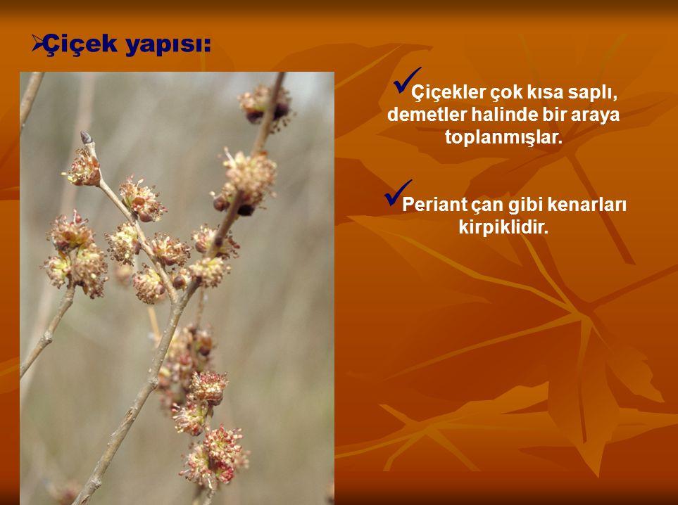 Çiçek yapısı: Çiçekler çok kısa saplı, demetler halinde bir araya toplanmışlar.