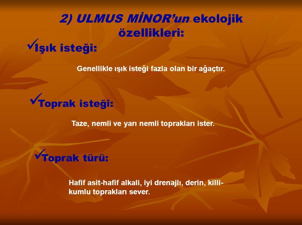 2) ULMUS MİNOR'un ekolojik özellikleri: