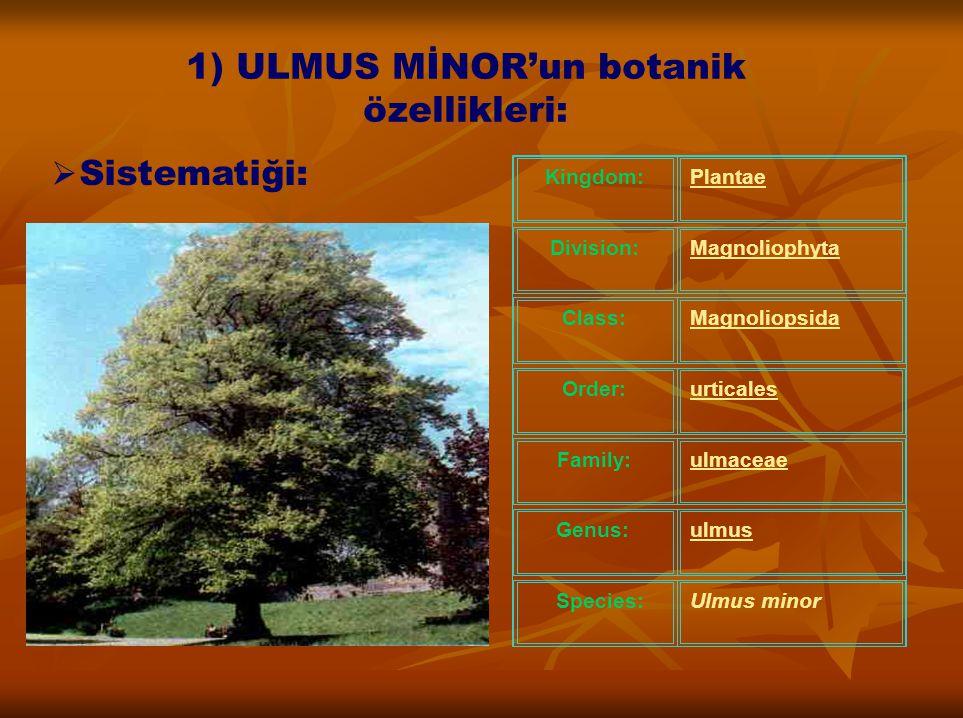 1) ULMUS MİNOR'un botanik özellikleri: