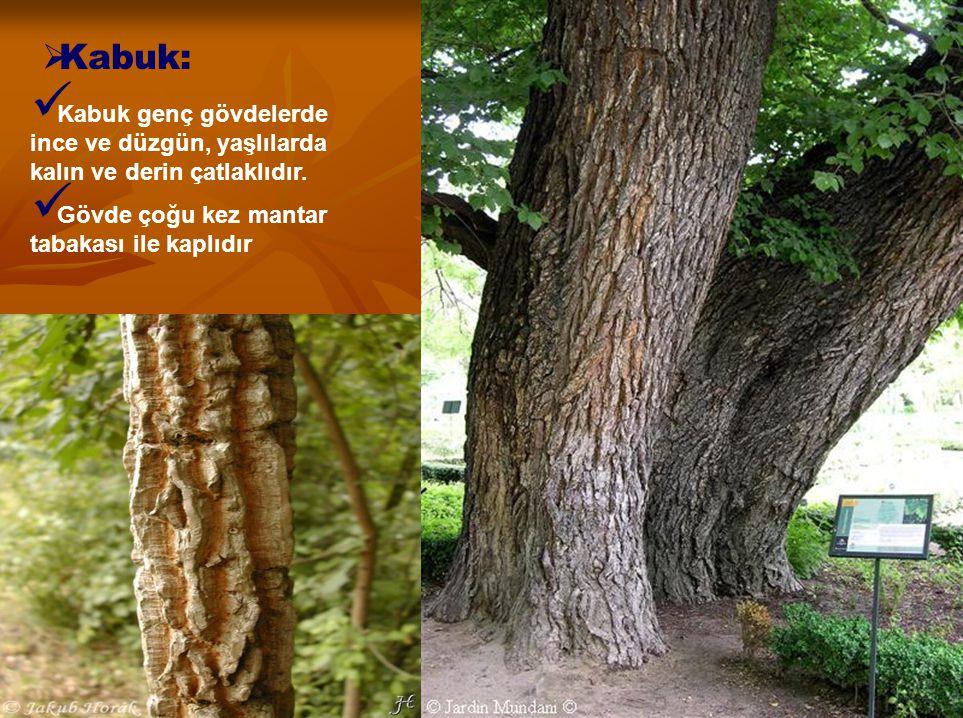 Kabuk: Kabuk genç gövdelerde ince ve düzgün, yaşlılarda kalın ve derin çatlaklıdır.