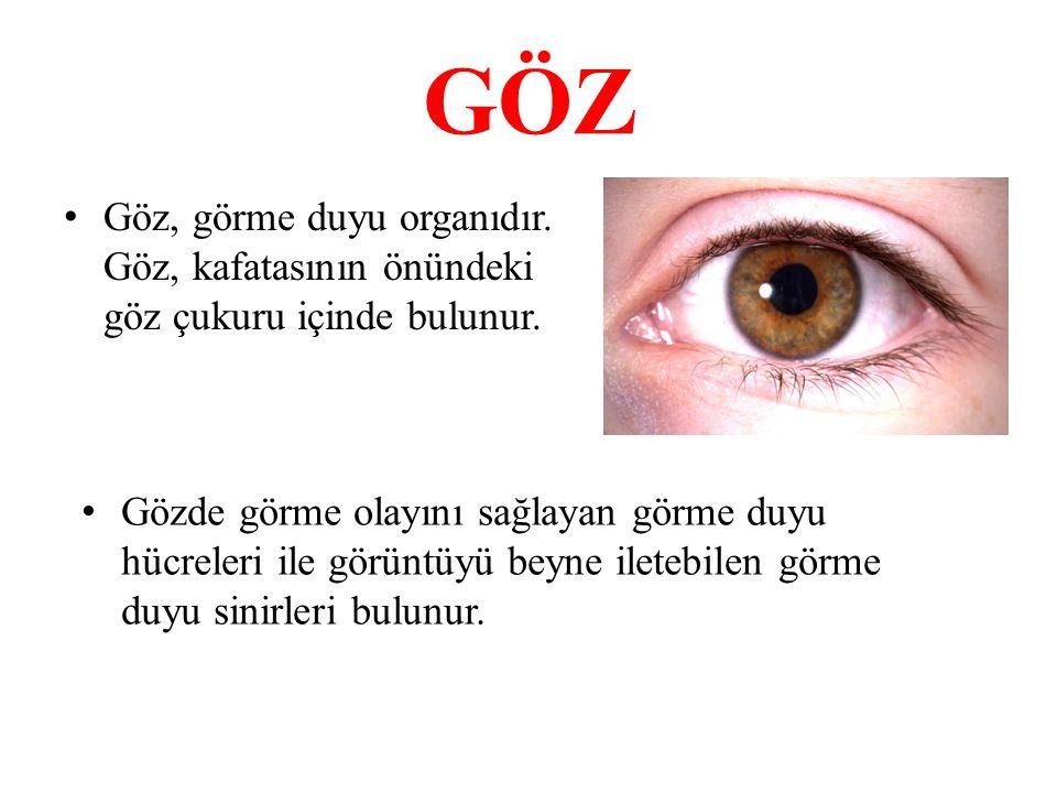 GÖZ Göz, görme duyu organıdır. Göz, kafatasının önündeki göz çukuru içinde bulunur.