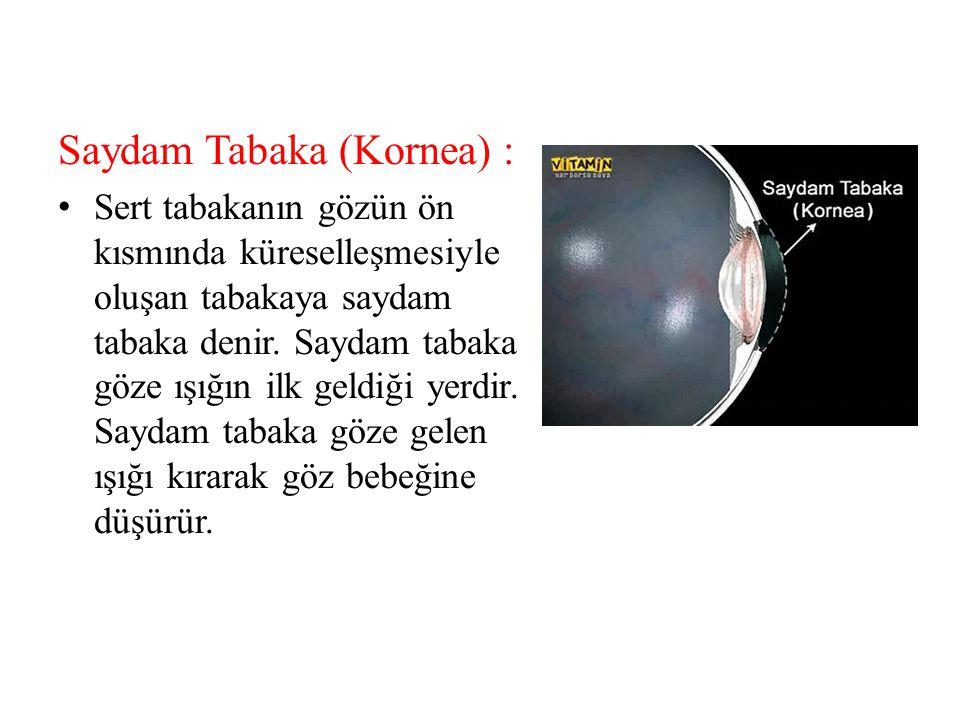 Saydam Tabaka (Kornea) :