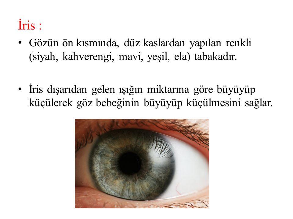 İris : Gözün ön kısmında, düz kaslardan yapılan renkli (siyah, kahverengi, mavi, yeşil, ela) tabakadır.