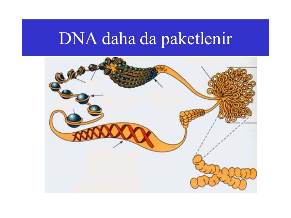 DNA daha da paketlenir
