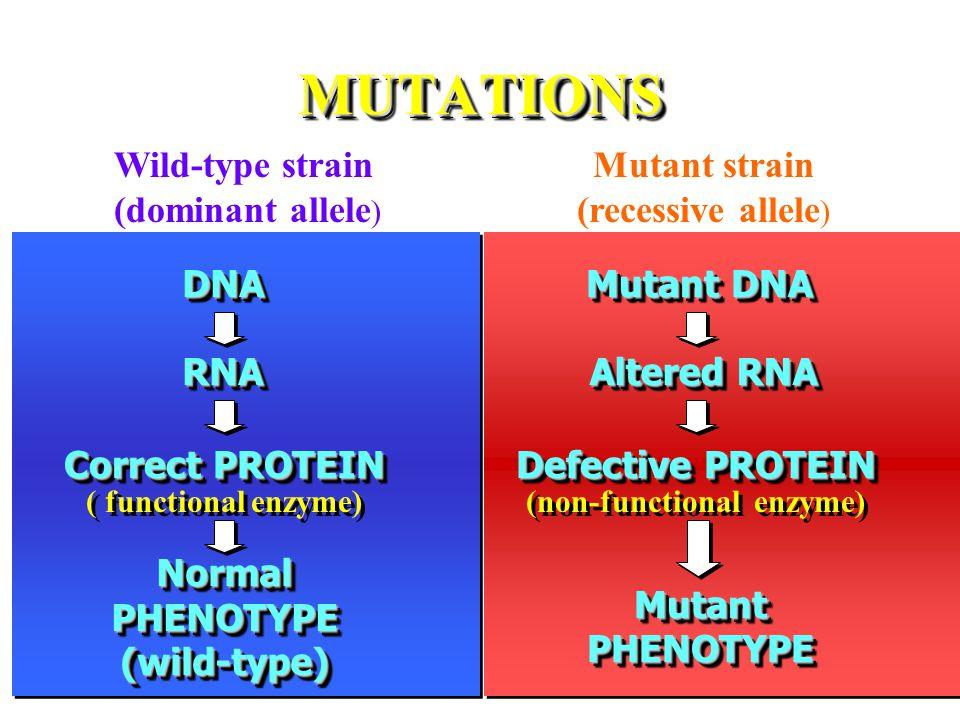 MUTATIONS Wild-type strain (dominant allele)