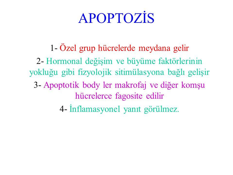 APOPTOZİS 1- Özel grup hücrelerde meydana gelir