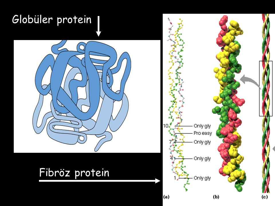Globüler protein Fibröz protein