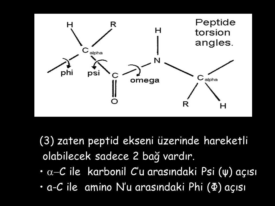 (3) zaten peptid ekseni üzerinde hareketli