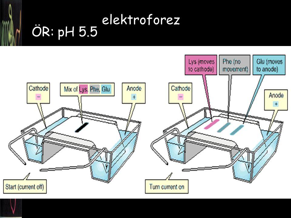 elektroforez ÖR: pH 5.5