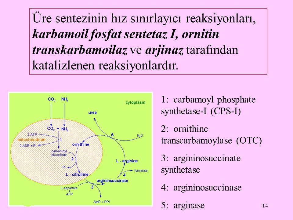 Üre sentezinin hız sınırlayıcı reaksiyonları, karbamoil fosfat sentetaz I, ornitin transkarbamoilaz ve arjinaz tarafından katalizlenen reaksiyonlardır.