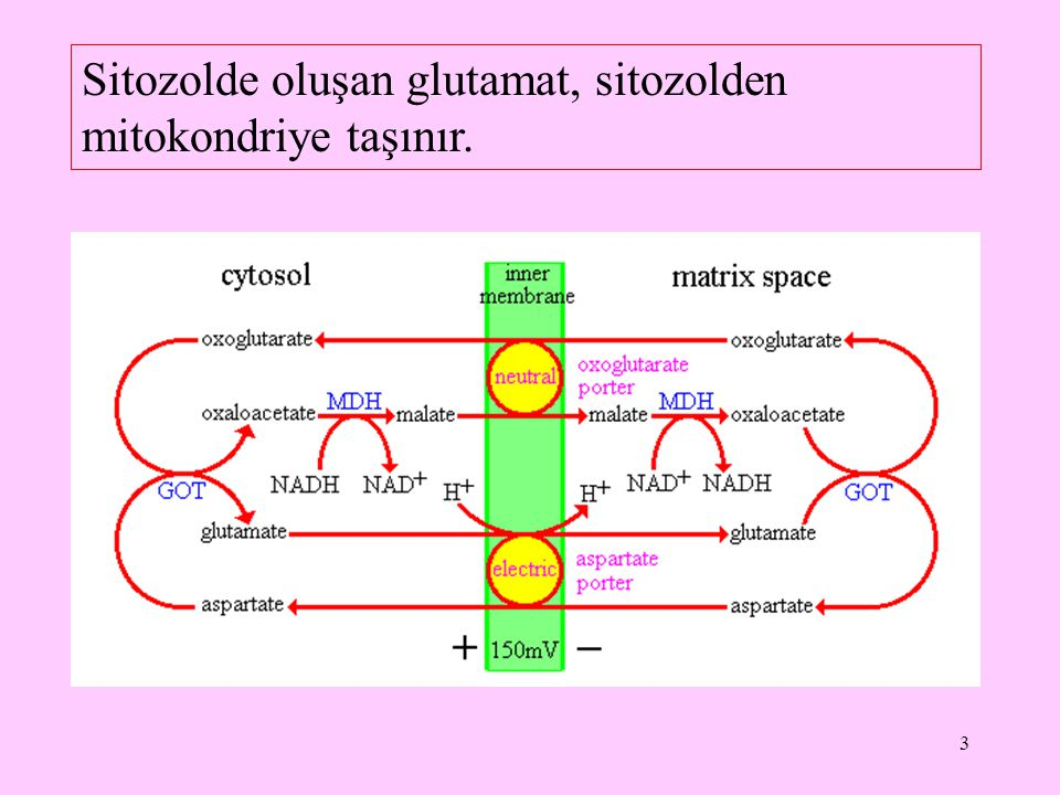 Sitozolde oluşan glutamat, sitozolden mitokondriye taşınır.