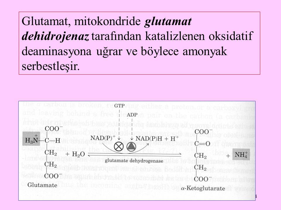 Glutamat, mitokondride glutamat dehidrojenaz tarafından katalizlenen oksidatif deaminasyona uğrar ve böylece amonyak serbestleşir.