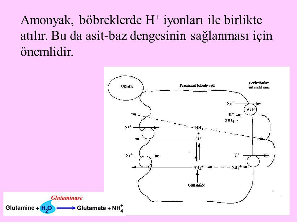 Amonyak, böbreklerde H+ iyonları ile birlikte atılır
