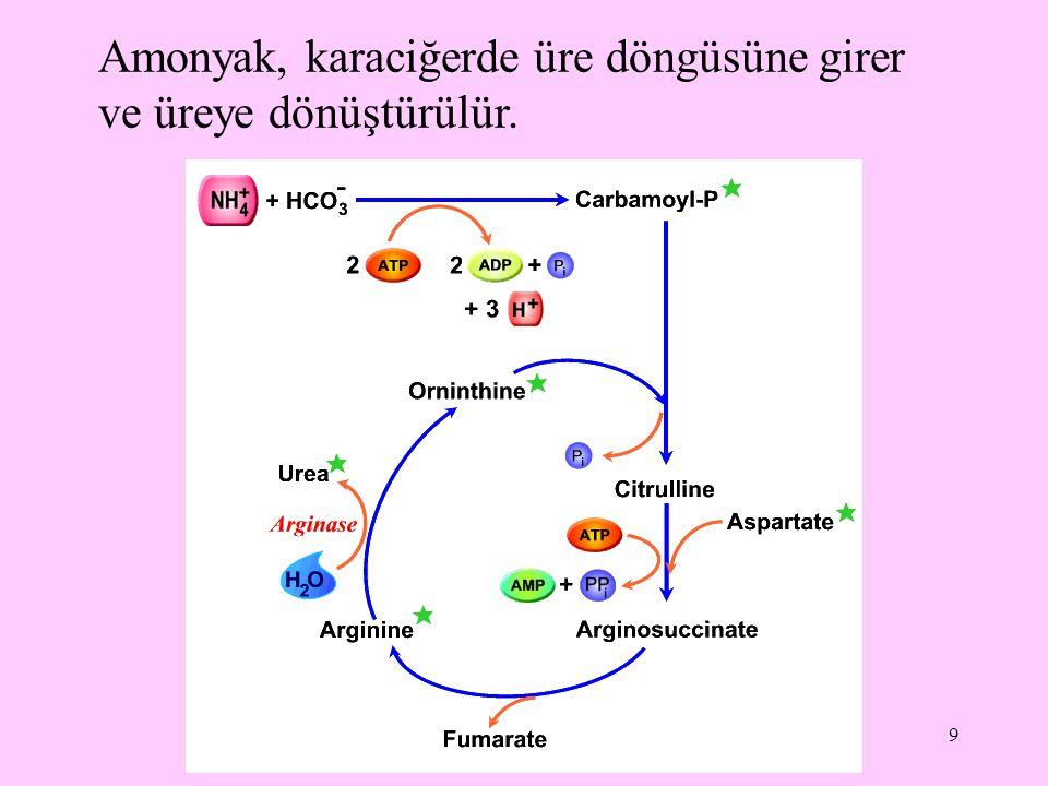 Amonyak, karaciğerde üre döngüsüne girer ve üreye dönüştürülür.