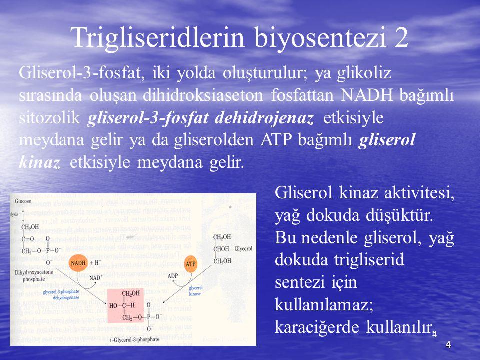 Trigliseridlerin biyosentezi 2