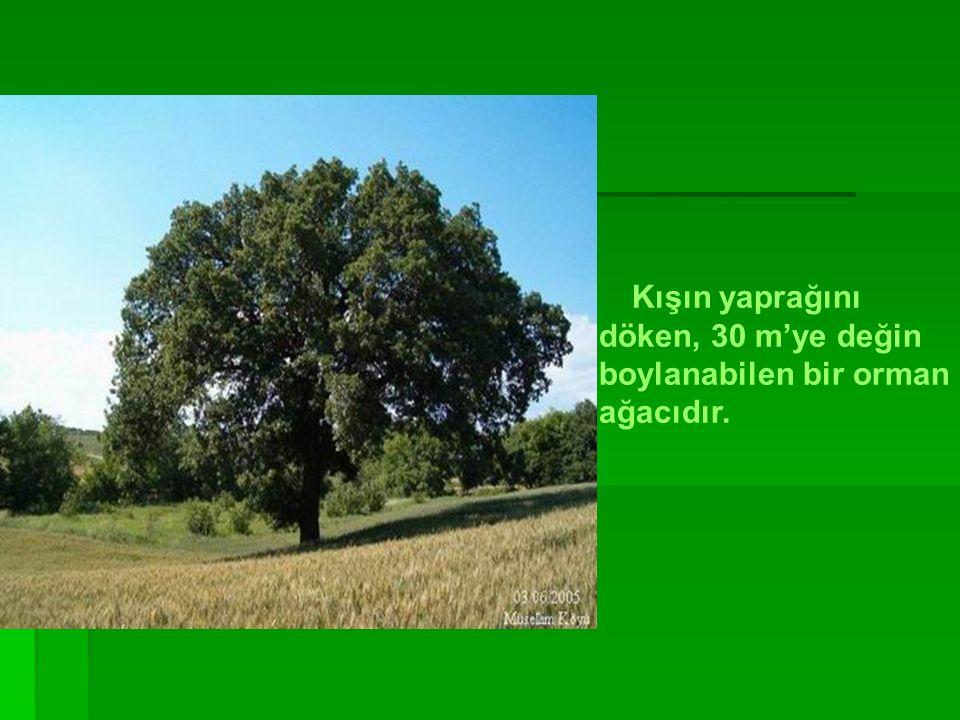 boylanabilen bir orman ağacıdır.