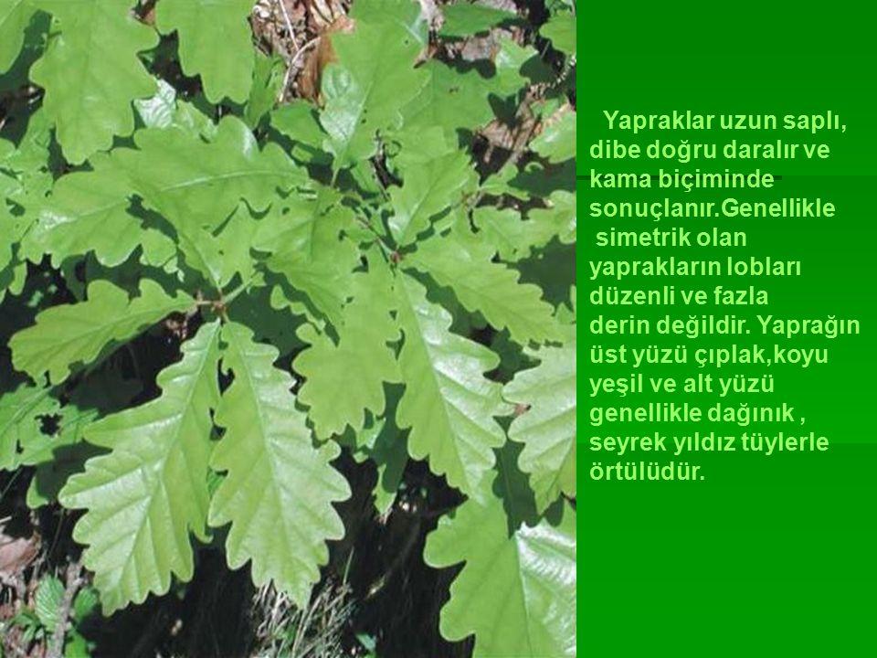 Yapraklar uzun saplı, dibe doğru daralır ve. kama biçiminde. sonuçlanır.Genellikle. simetrik olan.