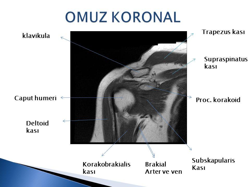 OMUZ KORONAL Trapezus kası klavikula Supraspinatus kası Caput humeri