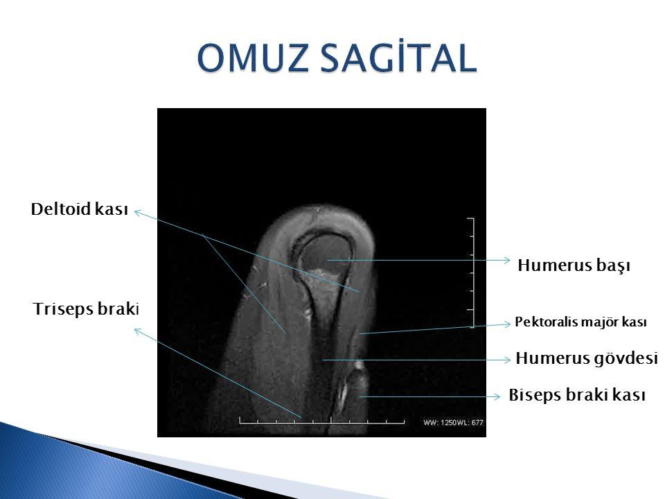 OMUZ SAGİTAL Deltoid kası Humerus başı Triseps braki Humerus gövdesi