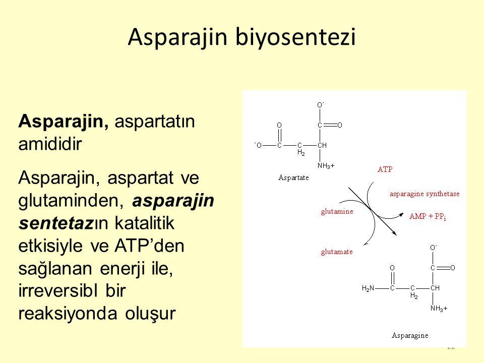 Asparajin biyosentezi