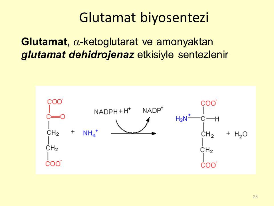 Glutamat biyosentezi Glutamat, -ketoglutarat ve amonyaktan glutamat dehidrojenaz etkisiyle sentezlenir.
