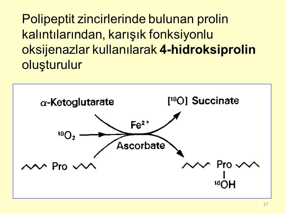 Polipeptit zincirlerinde bulunan prolin kalıntılarından, karışık fonksiyonlu oksijenazlar kullanılarak 4-hidroksiprolin oluşturulur