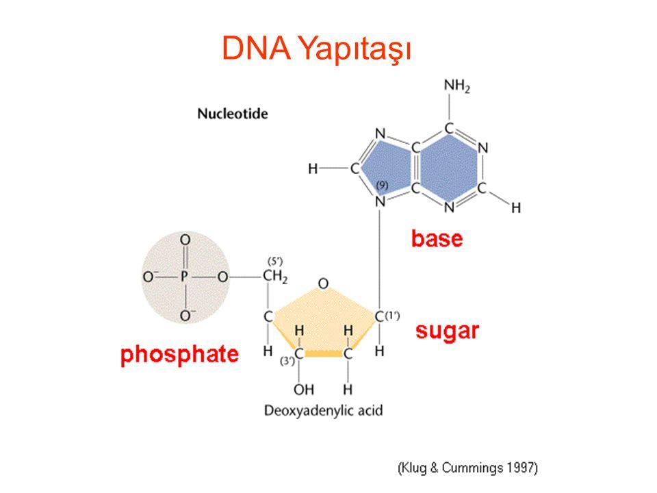 DNA Yapıtaşı