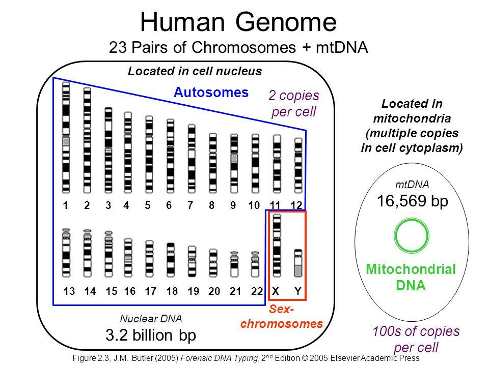 Human Genome 23 Pairs of Chromosomes + mtDNA
