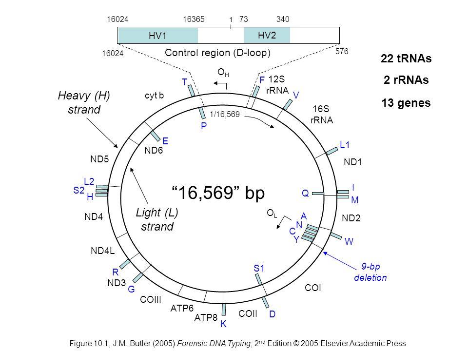 16,569 bp 22 tRNAs 2 rRNAs Heavy (H) strand 13 genes