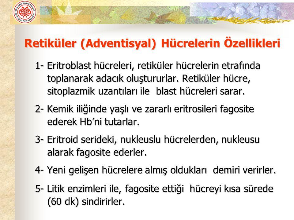 Retiküler (Adventisyal) Hücrelerin Özellikleri
