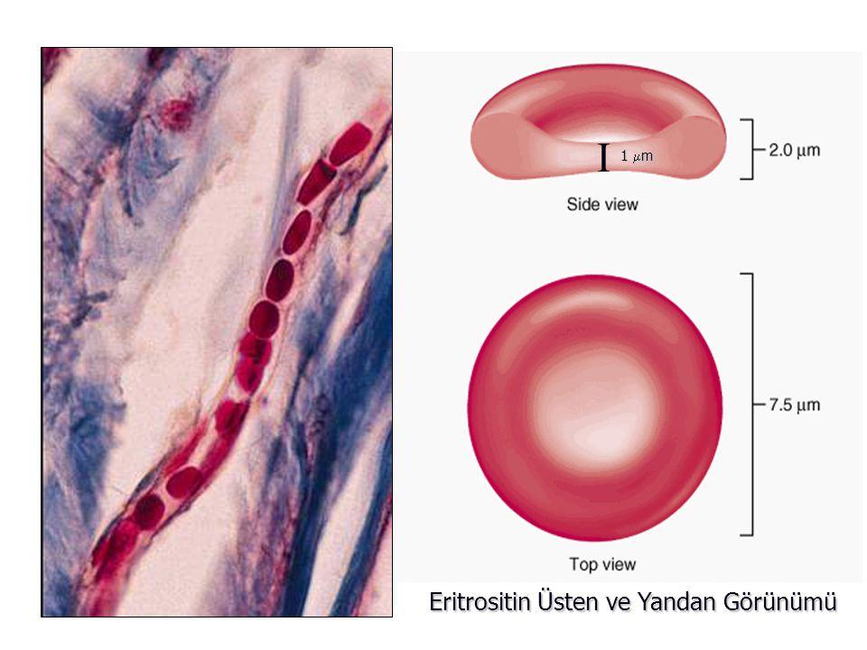 1 m I Eritrositin Üsten ve Yandan Görünümü