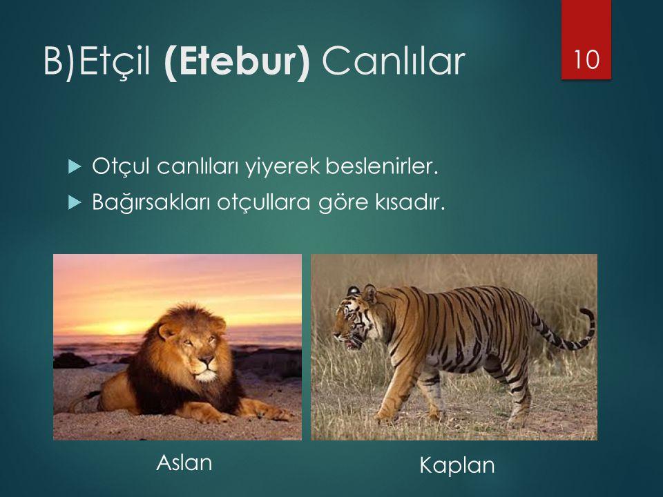 B)Etçil (Etebur) Canlılar