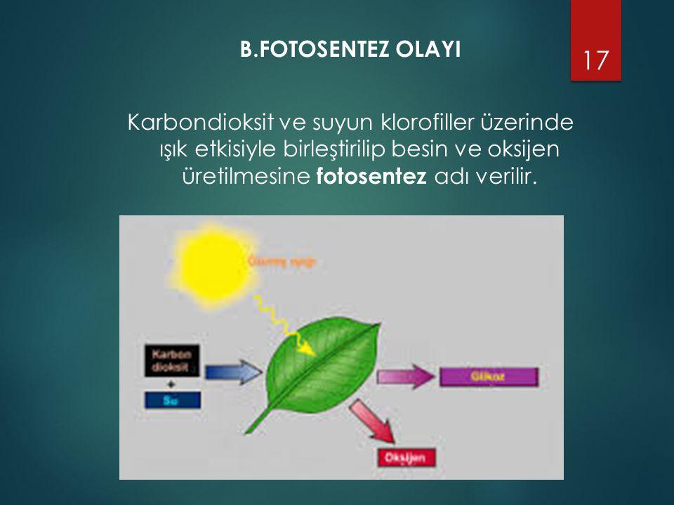 B.FOTOSENTEZ OLAYI Karbondioksit ve suyun klorofiller üzerinde ışık etkisiyle birleştirilip besin ve oksijen üretilmesine fotosentez adı verilir.