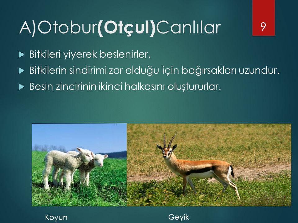 A)Otobur(Otçul)Canlılar