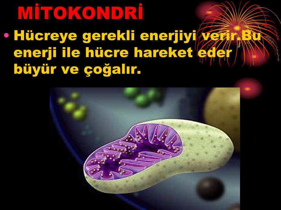 MİTOKONDRİ Hücreye gerekli enerjiyi verir.Bu enerji ile hücre hareket eder büyür ve çoğalır.