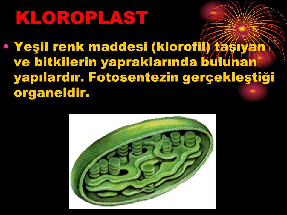 KLOROPLAST Yeşil renk maddesi (klorofil) taşıyan ve bitkilerin yapraklarında bulunan yapılardır.