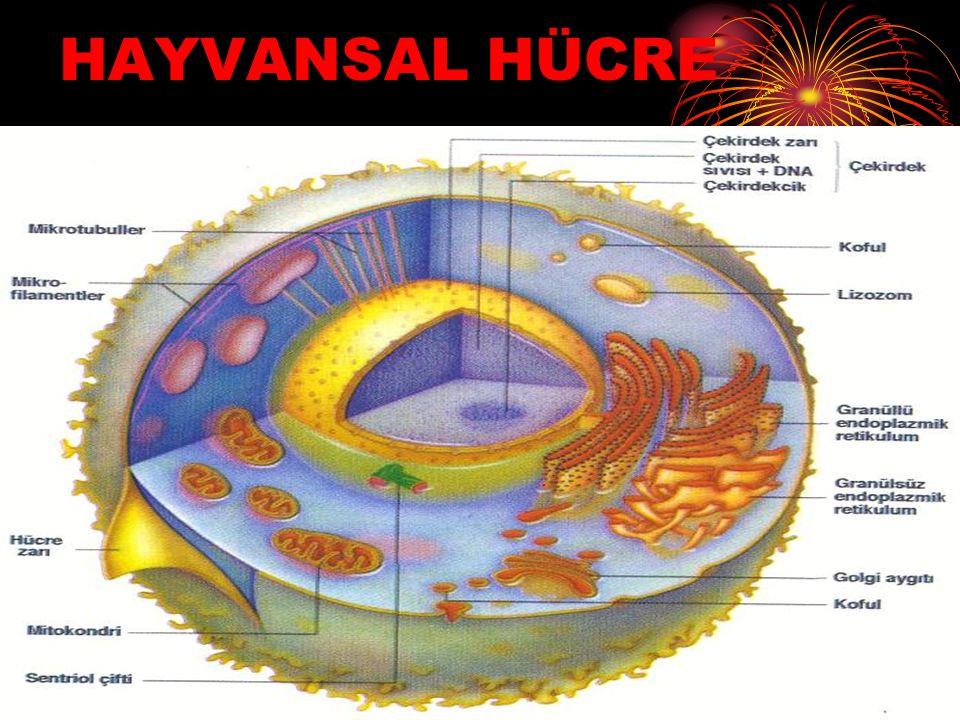 HAYVANSAL HÜCRE