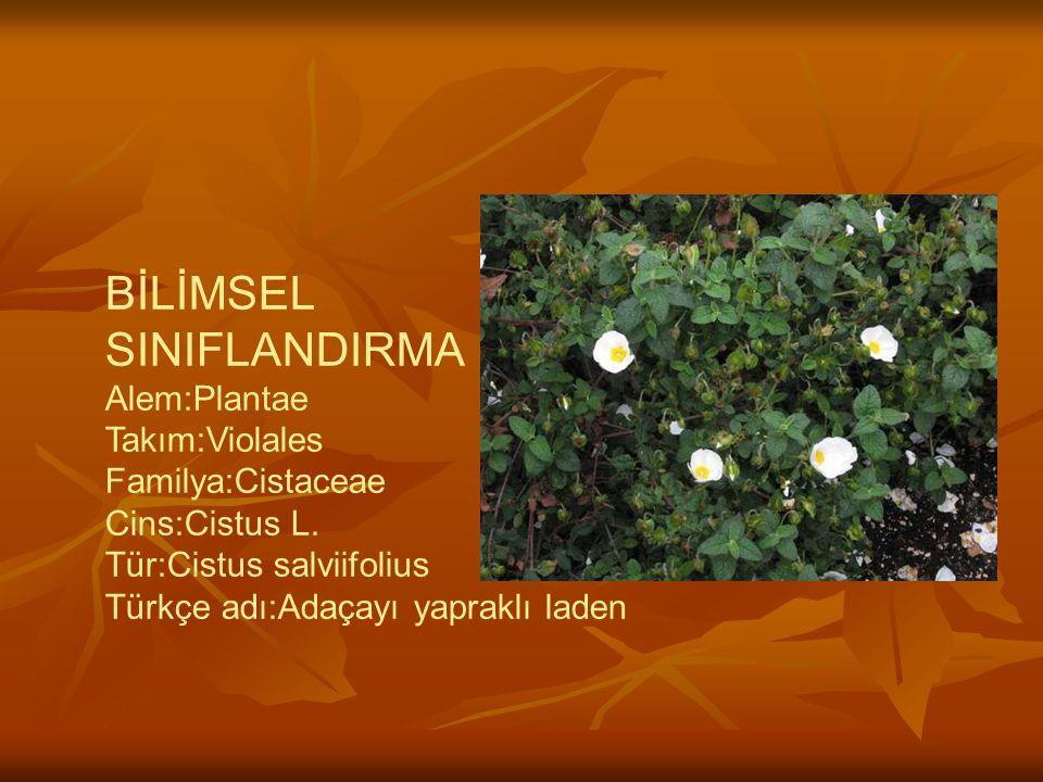 BİLİMSEL SINIFLANDIRMA Alem:Plantae Takım:Violales Familya:Cistaceae